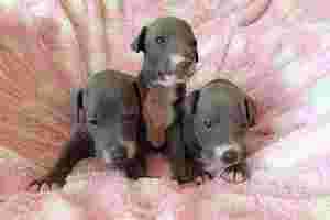 子犬3匹(300×200)